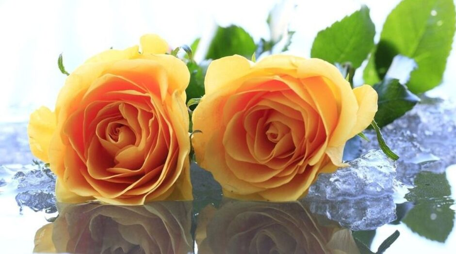 желтые розы на льду